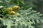 Cedar Oil (Cedrus atlantica) 101
