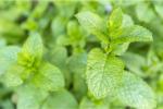 Spearmint Oil (Mentha spicata) 103