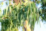 Eucalyptus Oil (Eucalyptus globulus) 109