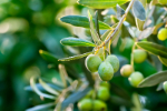 Olive Oil (Olea europaea fruit oil) 50