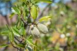Almond Oil (Prunus amygdalus dulcis oil) 51