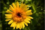 Calendula (Calendula officinalus extract) 56
