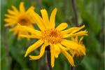 Arnica (Arnica montana extract) 57