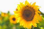 Helianthus Annus Seed Cera (Sunflower seed wax) 75