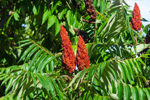 Rhus Verniciflua Peel Cera (Japanese sumac wax) 76