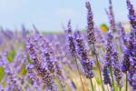 Lavender Oil (Lavandula angustifolia) 81