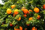 Orange Oil (Citrus aurantium dulcis) 83