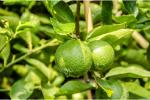 Lime Oil (Citrus aurantifolia) 89