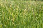 Vetiver Oil (Vertiveria zizanioides) 90