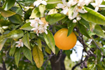 Petitgrain Oil (Citrus aurantium amara - leaf) 92