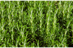 Rosemary Oil (Romarinus officinalis) 95